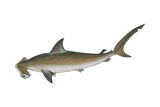 Smooth Hammerhead Shark (Sphyrna Zygaena)  Fishes