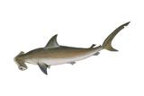 Smooth Hammerhead Shark (Sphyrna Zygaena)  Fishes