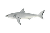 White Shark (Carcharodon Carcharias)  Fishes