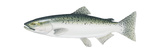 King Salmon (Oncorhynchus Tshawytscha)  Fishes