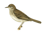 Gray-Cheeked Thrush (Hylocichla Minima)  Birds