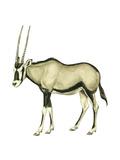 Oryx (Oryx Gazella)  Mammals