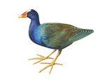 Purple Gallinule (Porphyrula Martinica)  Birds