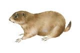 Black-Tailed Prairie Dog (Cynomys Ludovicianus)  Mammals