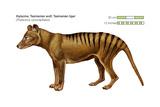 Tasmanian Wolf (Thylacinus Cynocephalus)  Tasmanian Tiger  Thylacine  Extinct Species  Mammals
