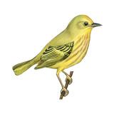 Yellow Warbler (Dendroica Petechia)  Birds