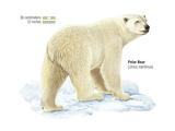 Polar Bear (Ursus Maritimus)  Mammals