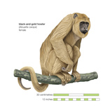 Female Black-And-Gold Howler (Alouatta Caraya)  Monkey  Mammals
