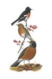 Scarlet Robin  European Robin  American Robin