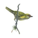 Peppershrike (Cyclarhis Nigrirostris)  Birds