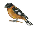 Black-Headed Grosbeak (Pheucticus Melanocephalus)  Birds