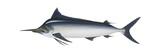 Black Marlin (Istiompax Indica)  Fishes