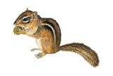 Eastern Chipmunk (Tamias Striatus)  Mammals