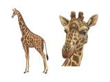 Reticulated Giraffe (Giraffa Reticulata)  Mammals