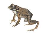 Wood Frog (Rana Sylvatica)  Amphibians