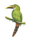 Emerald Toucanet (Aulacorhynchus Prasinus)  Birds