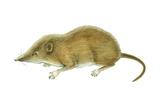 Pigmy Shrew (Microsorex Hoyi)  Mammals