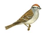 Chipping Sparrow (Spizella Passerina)  Birds