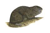 Tuco-Tuco (Ctenomys)  Rodent  Mammals