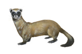 Black-Footed Ferret (Mustela Nigripes)  Weasel  Mammals