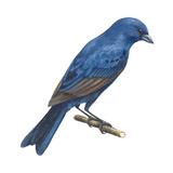 Indigo Bunting (Passerina Cyanea)  Birds