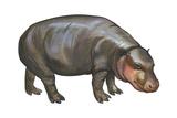 Pigmy Hippopotamus (Hippopotamus Liberiensis)  Mammals