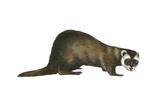 European Polecat (Mustela Putorius)  Weasel  Mammals