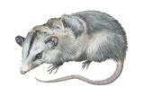 Virginia Opossum (Didelphis Virginiana)  Marsupial  Mammals