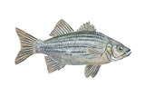 White Bass (Roccus Chrysops)  Fishes