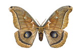Polyphemus Moth (Telea Polyphemus)  Insects