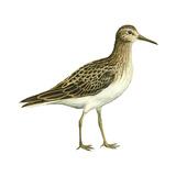 Pectoral Sandpiper (Calidris Melanotos)  Birds