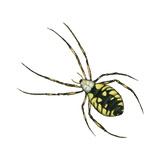 Golden Garden Spider (Argiope Aurantia)  Arachnids