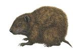 Bahaman Hutia (Geocapromys Ingrahami)  Mammals