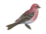 Pine Grosbeak (Pinicola Enucleator)  Birds