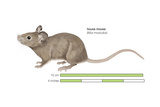 House Mouse (Mus Musculus)  Mammals