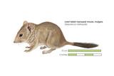 Crest-Tailed Marsupial Mouse (Dasycercus Cristicauda)  Mulgara  Mammals