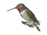 Broad-Tailed Hummingbird (Selasphorus Platycercus)  Birds