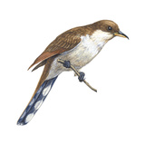 Yellow-Billed Cuckoo (Coccyzus Americanus)  Birds