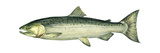 Coho (Oncorhynchus Kisutch)  Silver Salmon  Fishes