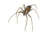 Brown Recluse (Loxosceles Reclusa)  Violin Spider  Arachnids