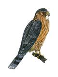 Merlin (Falco Columbarius)  Pigeon Hawk  Birds