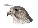 Head of Gyrfalcon (Falco Rusticolus)  Birds