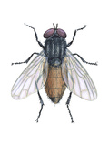 Housefly (Musca Domestica)  Insects