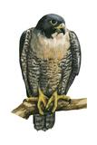 Peregrine Falcon (Falco Peregrinus)  Duck Hawk  Birds
