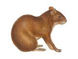 Agouti (Dasyprocta Aguti)  Mammals