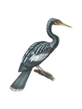 Anhinga (Anhinga Anhinga)  Birds