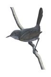 Gray Wren-Warbler (Calamonastes Simplex)  Birds
