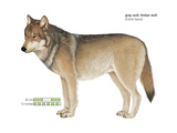 Gray or Timber Wolf (Canis Lupus)  Mammals