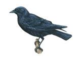 American Crow (Corvus Brachyrhynchos)  Birds