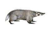 American Badger (Taxidea Taxus)  Weasel  Mammals